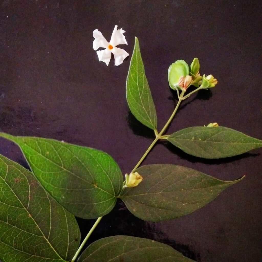 Herbal_Arcade_Parijat  (Nyctanthes arbor-tristis)