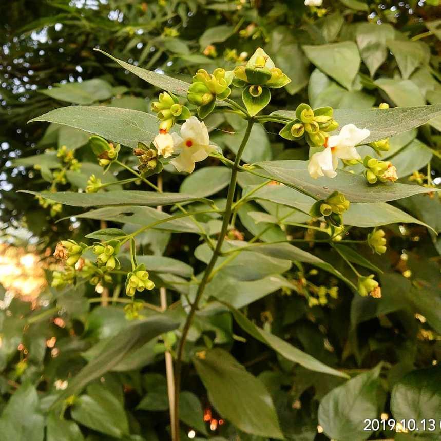 Parijat (Nyctanthes arbor-tristis) usages Herbal Arcade