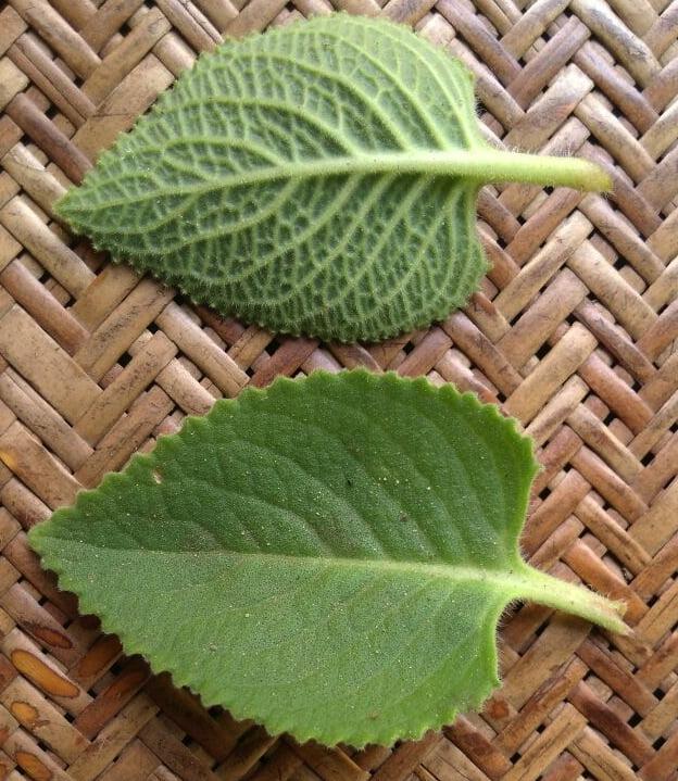Plectranthus amboinicus (1)