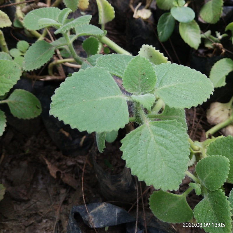 Ajwayan (Trachyspermum ammi) (अजवायन)