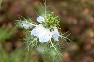 Cumin (जीरा) Flower | Herbal Arcade
