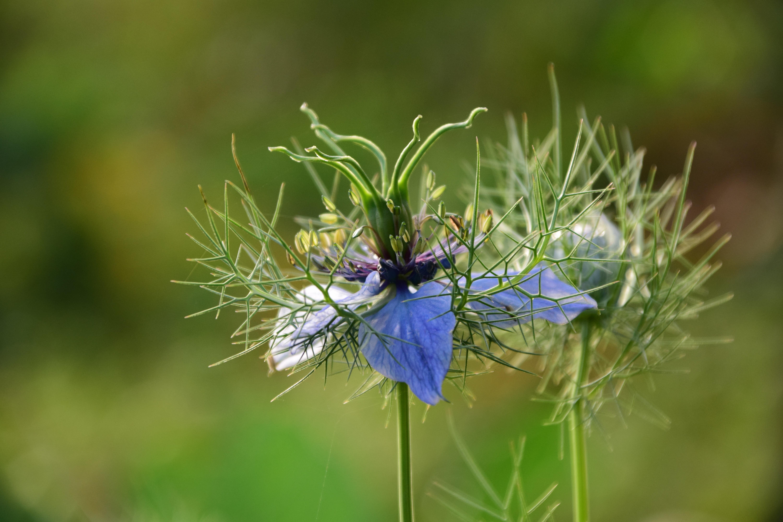 Cumin Flower | Herbal Arcade