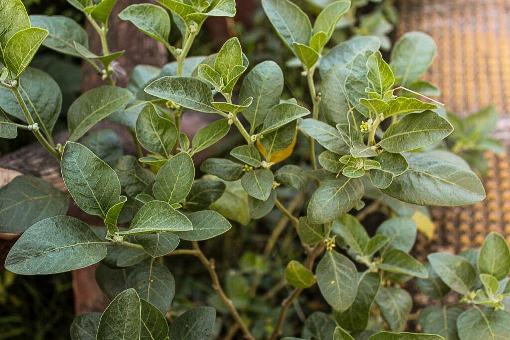 Ashwagandha plant(Withania somnifera) Herbal Arcade