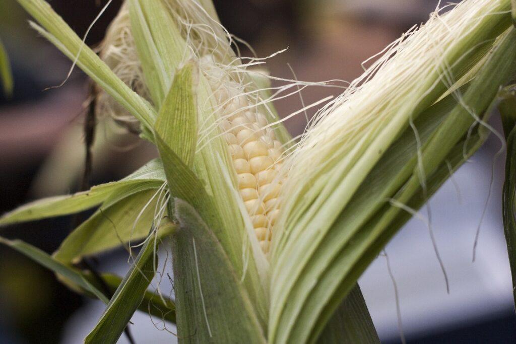 Health benefits of  Corn (Herbal Arcade)